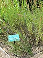 Jardin des simples de l'hôtel-Dieu de Tournus (Hyssopus officinalis).jpg