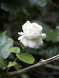 Jasminum sambac 'Grand Duke of Tuscany'.jpg
