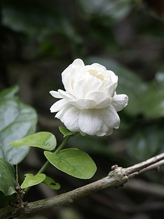 Jasmine - Jasminum sambac 'Grand Duke of Tuscany'