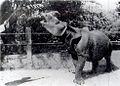 Javan Rhino 1900.jpg