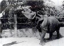 Javan rhinoceros - Wikipedia