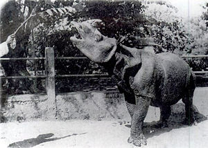 Javan rhinoceros - Captive Javan rhino, around 1900