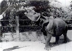 Rhinoceros (genus) - Javan Rhinoceros (Rhinoceros sondaicus)