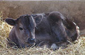 Jeju Black - Jeju black calf