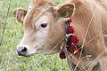 Jersey cattle in Sisdağı 04.jpg