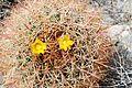 Joshua Tree National Park - Barrel Cactus (Ferocactus cylindraceus) - 10.JPG