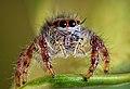 Jumping spiders (Salticidae).jpg