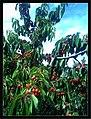 June Flower ^ Cherry Farming Endingen Kaiserstuhl - Master Seasons Rhine Valley Photography 2013 - panoramio (31).jpg