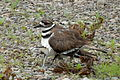 Juvenile Killdeer (Charadrius vociferus) Hiding Under Adult 01.jpg