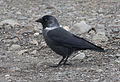 Küçük karga (Corvus monedula), 02.jpg