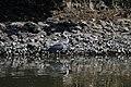 KDM180715f Grey Heron.jpg
