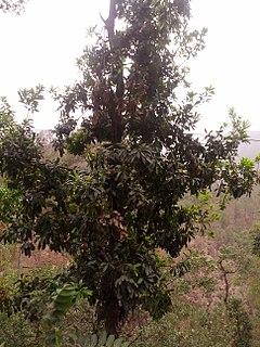 <i>Myrica esculenta</i> species of plant