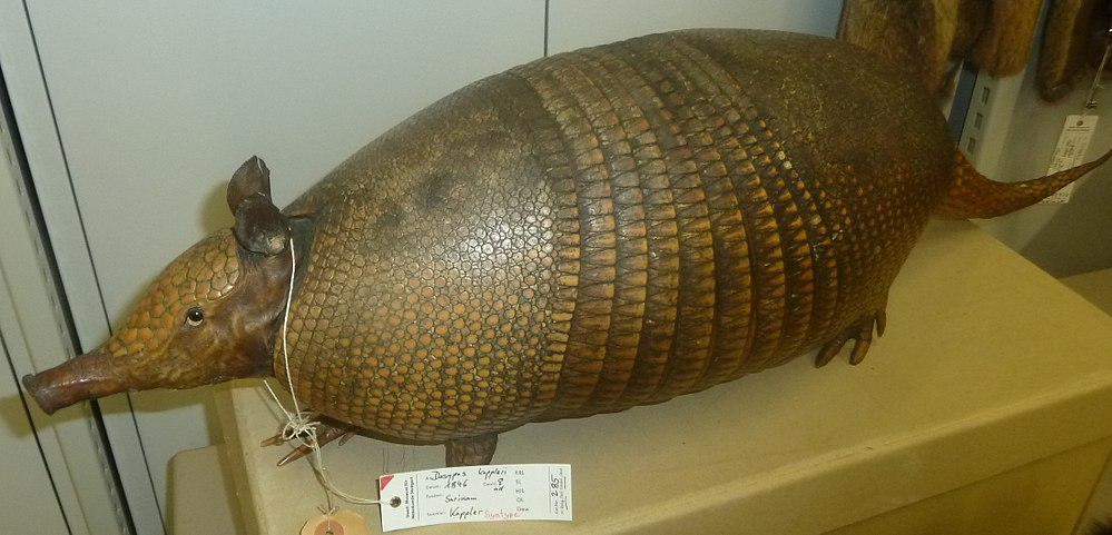 The average adult weight of a Greater long-nosed armadillo is 9.7 kg (21.39 lbs)