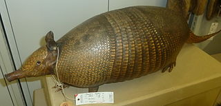 Greater long-nosed armadillo species of mammal