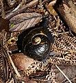 Kauri snail Paryphanta busbyi.jpg