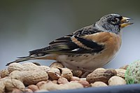 Keep (Brambling) (5295911215) (2).jpg
