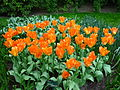 Keukenhof tulipes orange 1.JPG