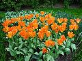 Keukenhof tulipes orange 1.JPG