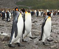 King Penguins at Salisbury Plain (5719466981).jpg