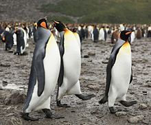 King Penguins at Salisbury Plain (5719466981).jpg