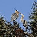 Kissing Great Blue Herons -) - Flickr - Andrea Westmoreland.jpg
