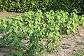 Kluse - Helianthus tuberosus - Topinambur 03 ies.jpg