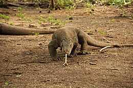 Komodo dragon walking.JPG