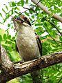 Kookaburra-003.jpg