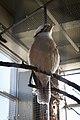 Kookaburra (31355809333).jpg