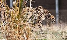 Кушки (иранский гепард) 03.jpg