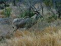 Kruger Park, Kudu.jpg
