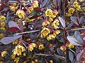 Kwiat berberysu 02.jpg
