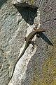 Länge 20 cm, Mauereidechse in Romannshorn - panoramio.jpg