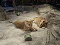 LAS VEGAS LIONS MGM.jpg