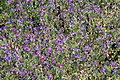 La Palma - El Paso - LP-3 - Echium plantagineum 02 ies.jpg