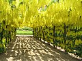 Laburnum arbour by Temple Newsam House - geograph.org.uk - 305763.jpg
