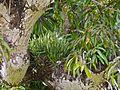 Lady-of-the-Night Orchid (Brassavola nodosa) (8294482078).jpg
