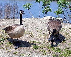 Franklin Delano Roosevelt Park - Canada goose migration