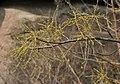 Lannea coromandelica (Wodier Tree) in Hyderabad W IMG 5632.jpg