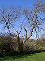 Large tree on the south bank of the Corfe River - geograph.org.uk - 769216.jpg