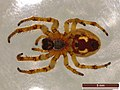 Larinioides cornutus (25880250627).jpg