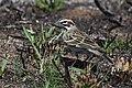 Lark Sparrow (33795175958).jpg