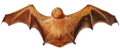 Lasiurus blossevillii (cropped).png