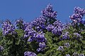 Last of Jacaranda for 2016-17 season-1 (33711018665).jpg