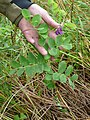 Lathyrus japonicus Willd. (AM AK304570-10).jpg