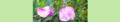 Lathyrus latifolius. Reader.png