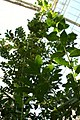 Laurus nobilis 4zz.jpg