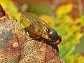 Lauxaniidae - Calliopum sp.JPG