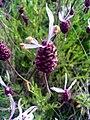 Lavandula stoechas subsp. sampaioana FlowersCloseup2 2009May10 SierraMadrona.jpg