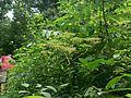 Leea asiatica (1251684992).jpg